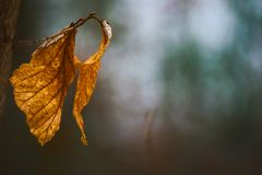Dead leaf in Winter Royalty Free Stock Photos