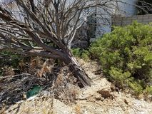 Dead tree leaning over. Old or sick dead tree fell over exposing the roots. Front yard landscape that needs help Stock Images