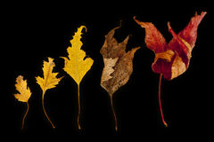 Dead leaves. Five dead leaves on black background Stock Photo