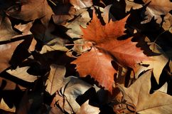 Free Dead Leaves Royalty Free Stock Images - 32188669