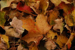 Dead Leaves. Close view of a pile of Dead, Fall leaves Royalty Free Stock Photos
