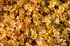Free Dead Leaves Royalty Free Stock Image - 70391526