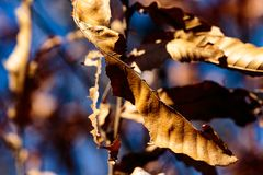 Cluster of dead leaves on a tree. Dead leaves cling to a tree well into winter in a park in Zama, Japan Stock Photos