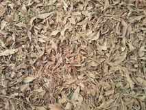 Dead leaves. A dry dead leaves in the ground brown and pale   looking and natural Stock Image