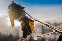 Dead Leaves In Frost. The frost develops to the dead leaves on cold mornings. The veins of the leaf are beautifully emphasized by the sunlight royalty free stock photo