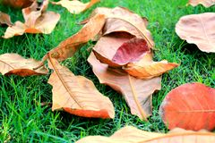 Dead Leaves on Grass. Dried and dead leaves lying on green grass. Circle of life. Life ends, new life beings Stock Image