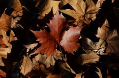 Dead leaves on the ground. Group of dead leaves on the ground in autumn stock photography