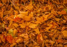 Free Dead Leaves In The Fall. Stock Image - 80321251