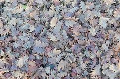 Dead leaves-oak tree Royalty Free Stock Photography
