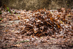 Dead leaves pile. A lot of dead, dry leaves in the undergrowth stock image