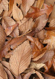 Dead Leaves Texture. Dead mixed leaves in a textured pattern Stock Image