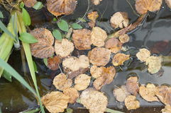 Dead leaves in water royalty free stock photography