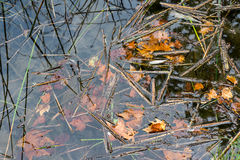 Dead leaves in water Royalty Free Stock Images
