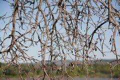 Dead limbs. Dead tree limbs with a weblike appearance stock photography