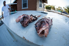 Dead Lionfish in Caribbean Stock Images