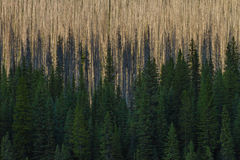 Dead and live forested areas Stock Photo