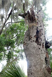 Dead Live Oak. Tree in the woods Royalty Free Stock Photos