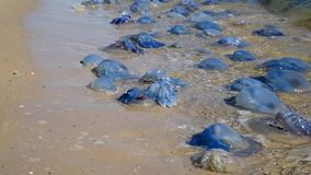 Dead and living jellyfish on the Black Sea shore on a summer day, Ukraine. Village of Iron Port stock video footage