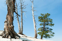 Dead and Living Trees Royalty Free Stock Photos
