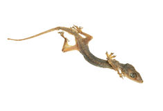 Dead lizard Royalty Free Stock Photography