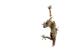 Dead lizard. & x28;Hemidactylus& x29; hanging on a wall Royalty Free Stock Images