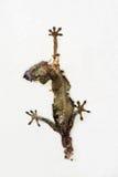 Dead lizard. Hemidactylus hanging on a wall Stock Photos