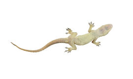 Dead lizard of reptile on white background with clipping paths. Stock Photos
