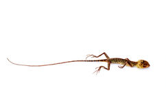 Dead Lizard on white background Stock Photos