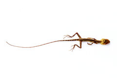 Dead Lizard on white background Stock Images