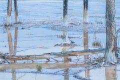 Dead Lodgepole Pines Landscape Stock Images