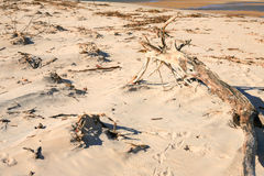 Dead log on mangue seco. Branches trees and other objects left on the sands of jericoacoara because of the river floods and the rise of the ocean tides Stock Images