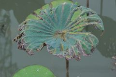 Dead lotus leaf. In the pond Stock Images