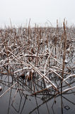 Dead lotus plants. Winter at West Lake, Hangzhou Stock Photography