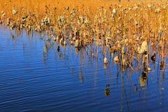 Dead lotus pond Stock Photography