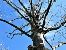 Dead magnolia tree. Winter sunshine illuminates the bare branches and trunk covered with fungi of a dead magnolia tree in Florida in December royalty free stock photography