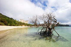 Dead Mangrove Tree On Beach Stock Images