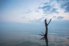 Dead mangrove tree royalty free stock photo