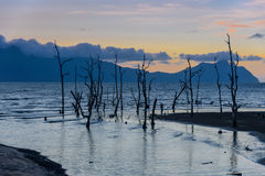 Dead mangrove trees on beach at sunset Royalty Free Stock Photography