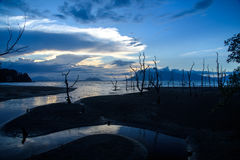 Dead mangrove trees on beach at sunset Stock Photography
