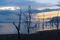 Dead mangrove trees on beach at sunset Stock Photo