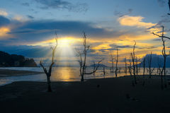 Dead mangrove trees on beach at sunset Royalty Free Stock Photo