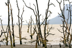 Dead mangrove trees, Borneo, Malaysia Royalty Free Stock Photo