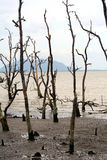 Dead mangrove trees, Borneo, Malaysia Stock Images