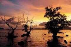 Dead mangrove Stock Image