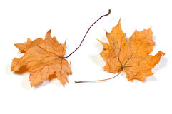 Dead maple leaves Stock Photo