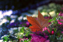 Dead maple leaves royalty free stock photo