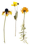 Dead marigold and sunflower isolated Stock Image