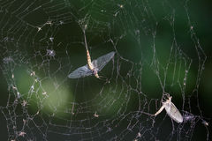 Dead Mayflies (Ephemera vulgata) in spiders web Stock Photo