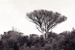 Dead mediterranean pine tree Tuscany - Italy.  Royalty Free Stock Photos