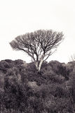 Dead mediterranean pine tree Tuscany - Italy. With upper space for text insertion Royalty Free Stock Photo